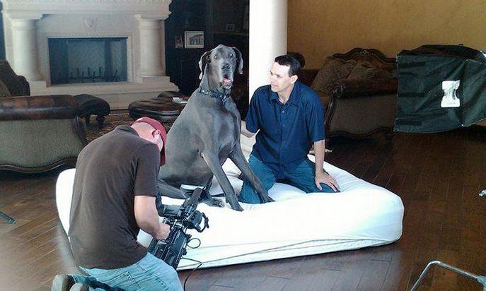 Гигантский Джордж собака