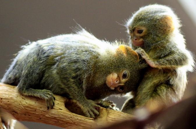 Карликовая обезьянка