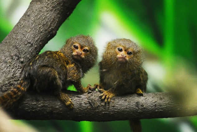 Карликовые игрунки - самые маленькие обезьяны в мире