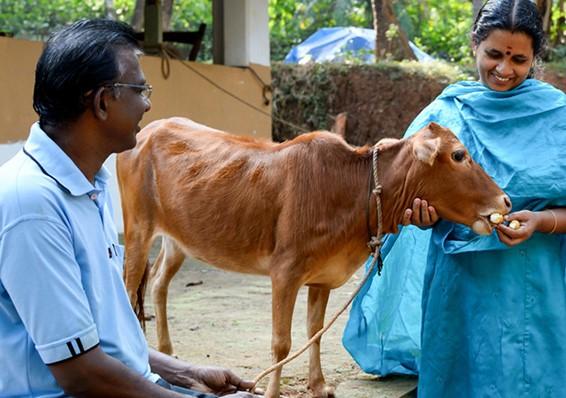 корова Маникьям
