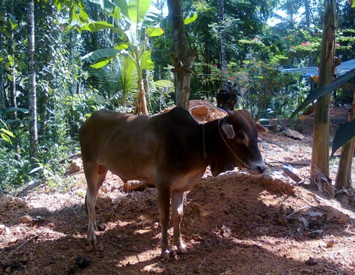 корова Вечур