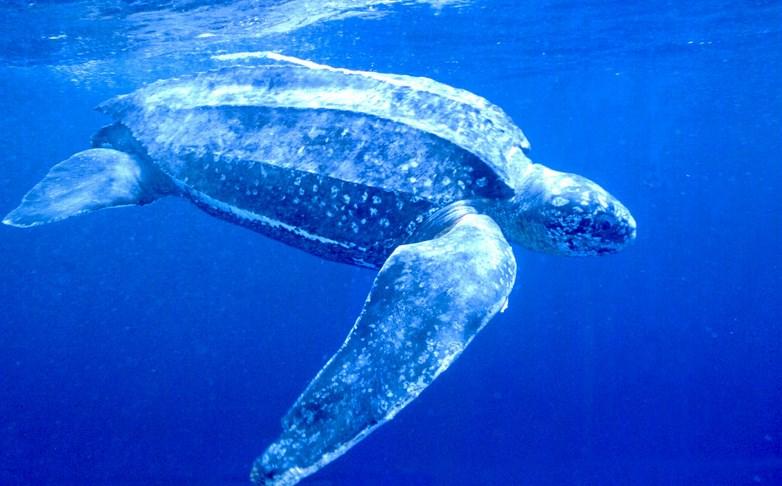 Кожистая черепаха в воде