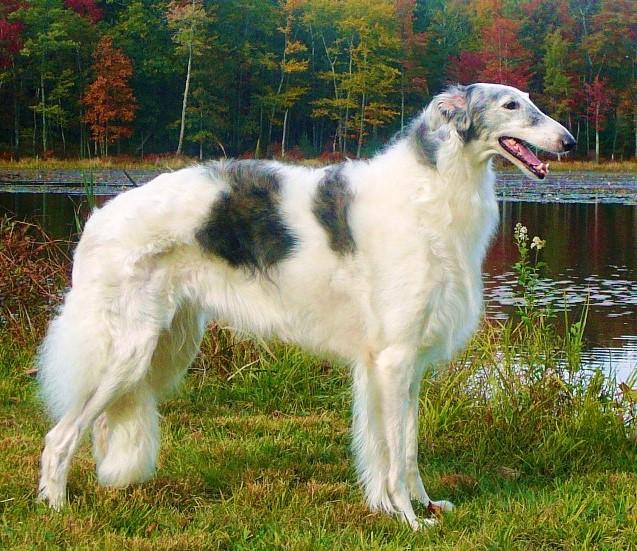 русская псовая борзая собака