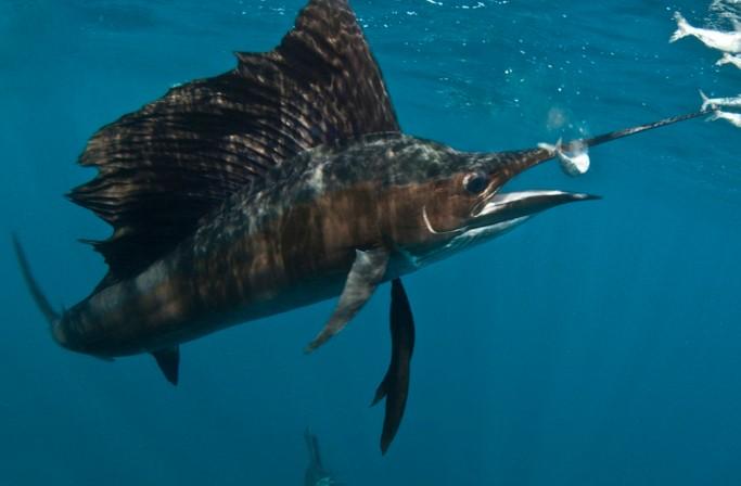 Рыба-парусник