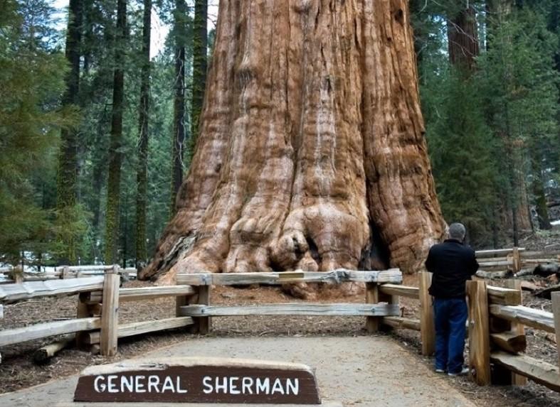 Самое высокое дерево Генерал Шерман