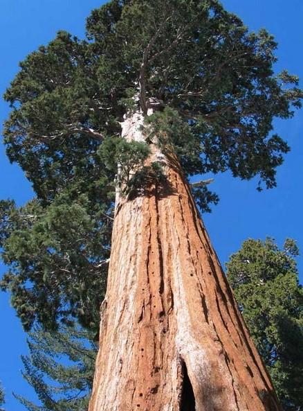 самое высокое дерево Гиперион