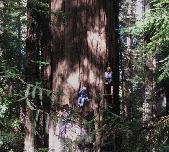 самое высокое дерево секвойя гелиос
