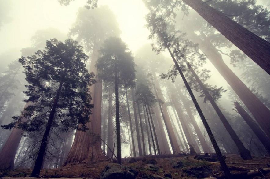 самое высокое дерево секвойя