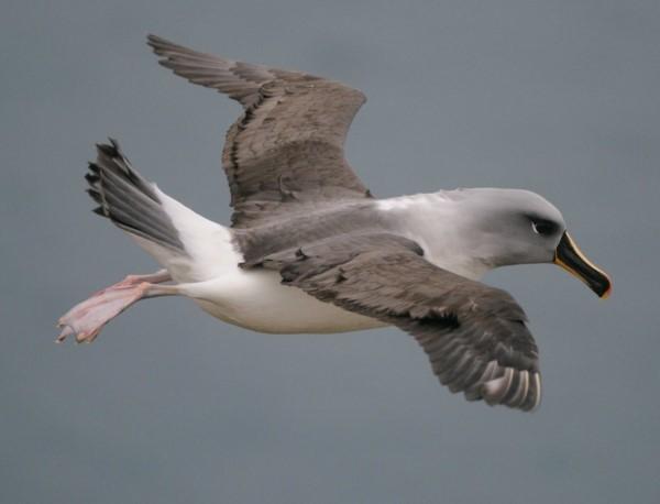 сероголовые альбатросы