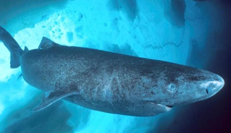 Тихоокеанская полярная акула