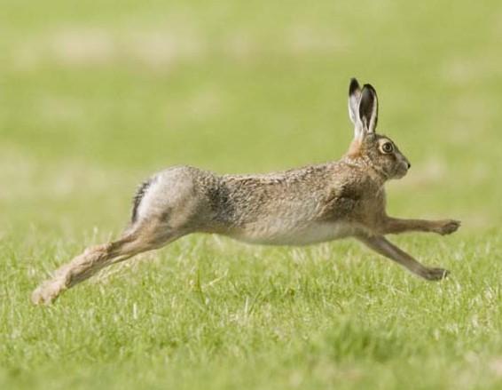 Заяц-русак бежит