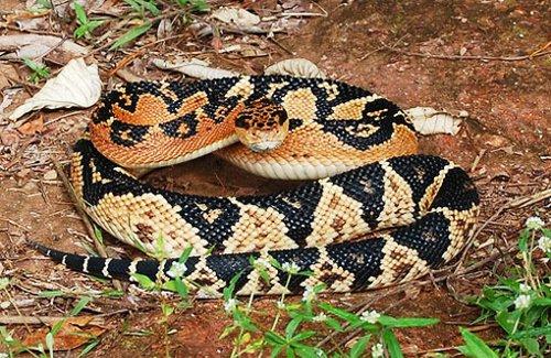 Змея – Бушмейстер